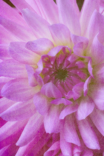 Softly Photograph - Pink Moody Dahlia  by Garry Gay