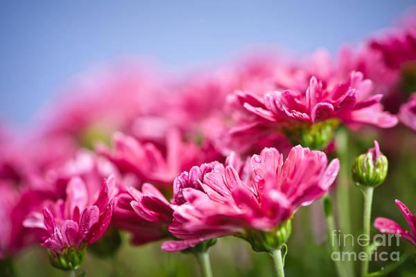 Mum Photograph - Pink Mums by Elena Elisseeva