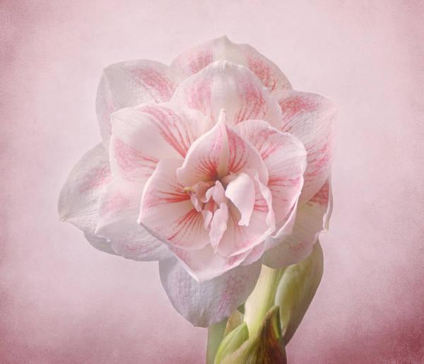 Photograph - Pink Nymph Amaryllis by Sandy Keeton