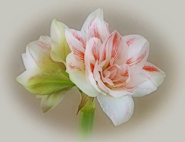 Photograph - Pink Nymph by Sandy Keeton
