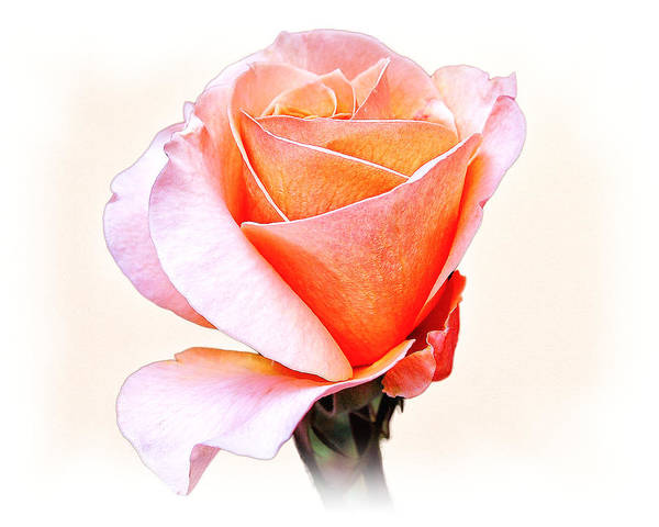 Photograph - Pink Orange Rose by William Havle
