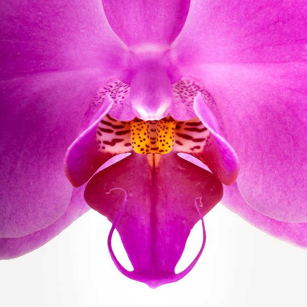Photograph - Pink Orchid Lip by  Onyonet  Photo Studios