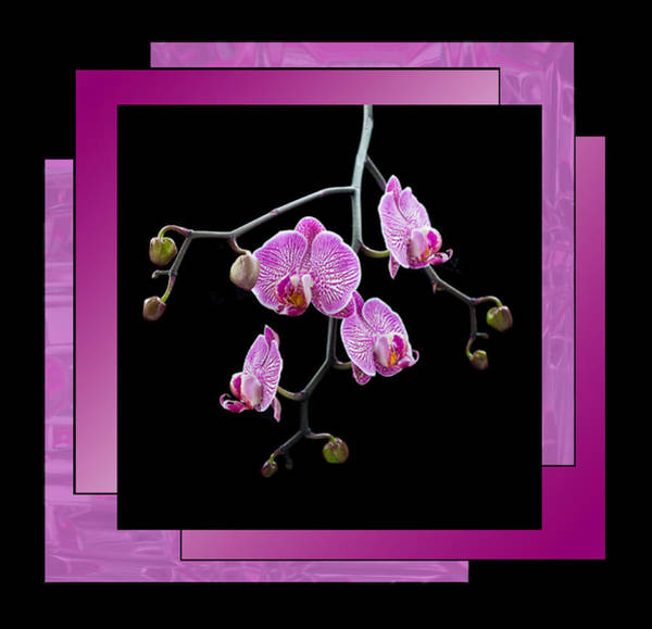 Photograph - Magenta Orchid Spray - Framed by Patti Deters