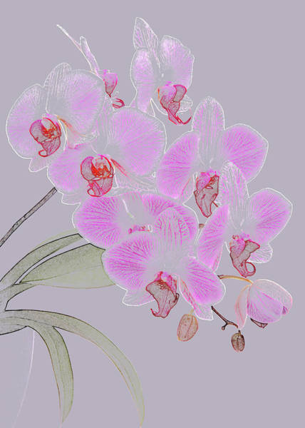 Pencil Drawing Photograph - Pink Orchids As Coloured Pencil Drawing by Rosemary Calvert