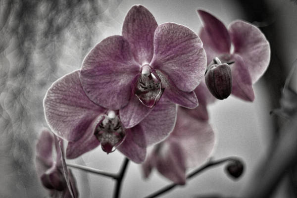 Photograph - Pink Orchids - Black And White by Stuart Litoff