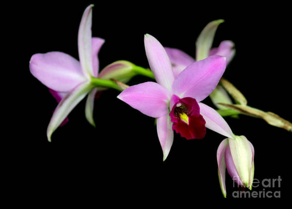 Photograph - Pink Orchids Cascading by Sabrina L Ryan