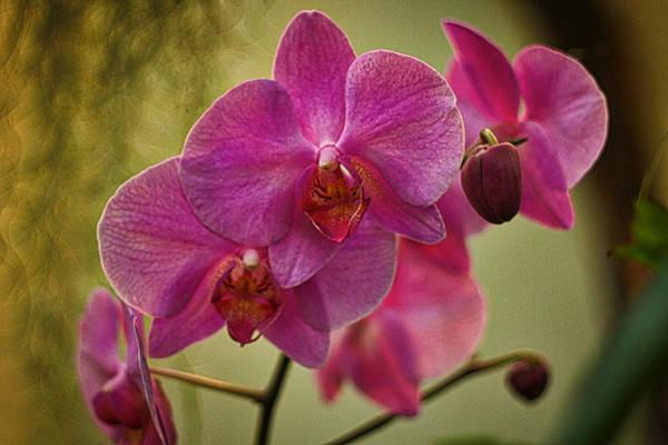 Photograph - Pink Orchids by Stuart Litoff