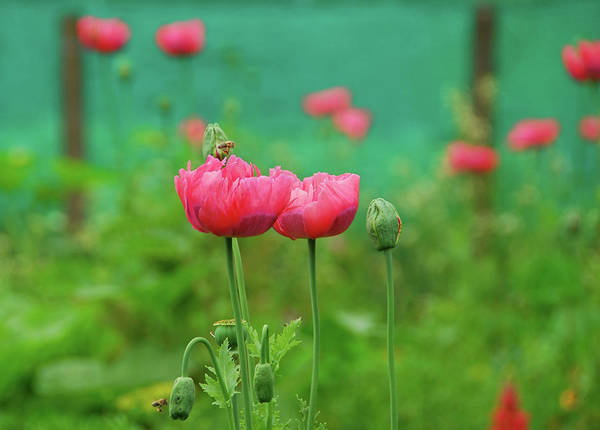 Side-by-side Photograph - Pink Papaver Somniferum by 49pauly