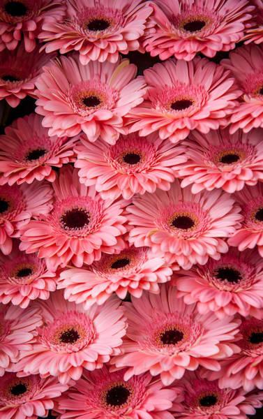 Photograph - Pink Peach Gerbera 1. Amsterdam Flower Market by Jenny Rainbow