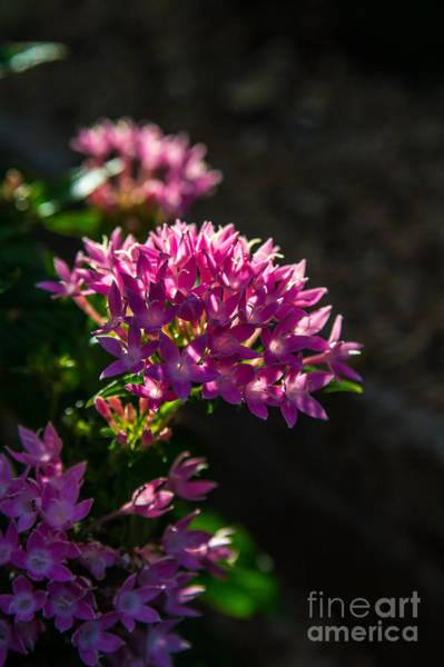 Photograph - Pink Penta by Jim McCain