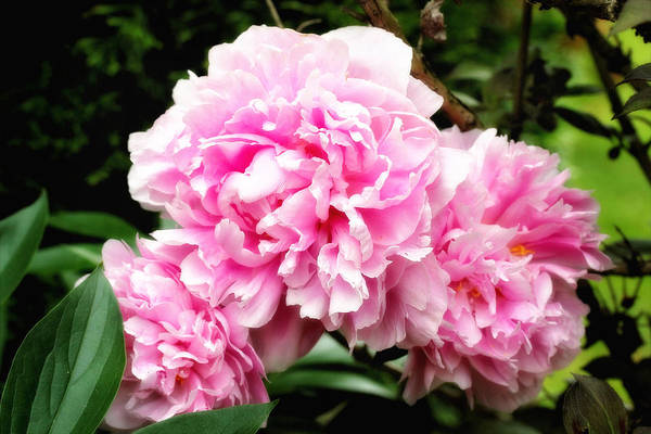 Photograph - Pink Peonies by Trina  Ansel