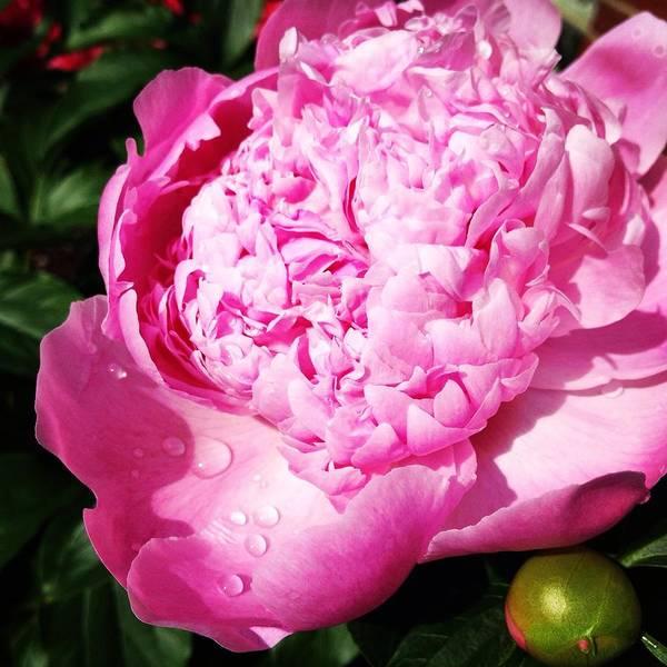 Photograph - Pink Peony by Angela Rath