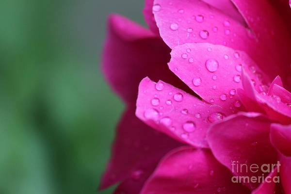 Photograph - Pink Peony  by Ann E Robson