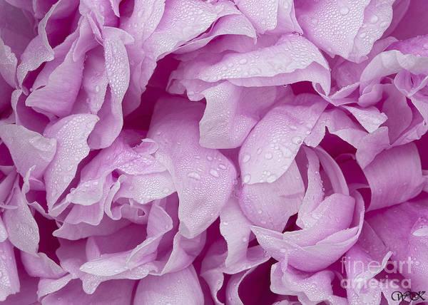 Photograph - Pink Peony Centered by Wanda Krack