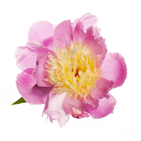 Flower Head Photograph - Pink Peony Flower by Elena Elisseeva