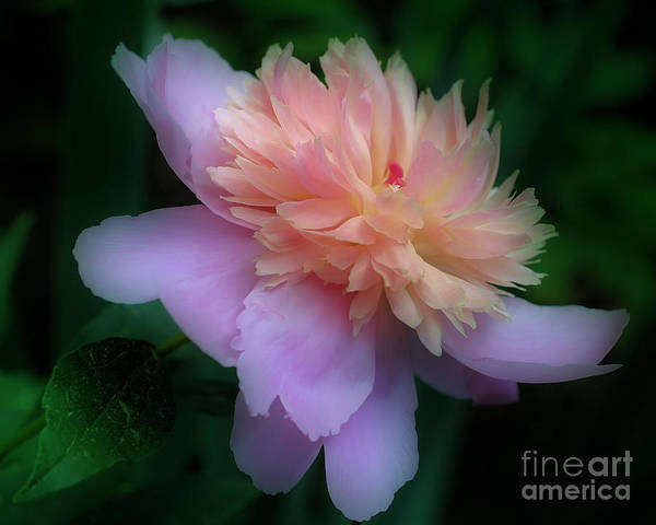 Photograph - Pink Peony Flower by Smilin Eyes  Treasures