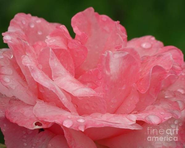 Photograph - Pink Petals  by Donna Cavanaugh