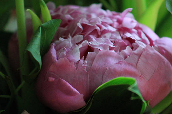 Photograph - Pink Petals by Lily K