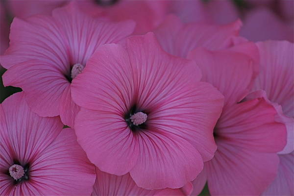 Photograph - Pink Petunia by Alicia Kent