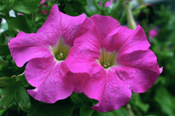 Annual Photograph - Pink Petunia by Anna Miller