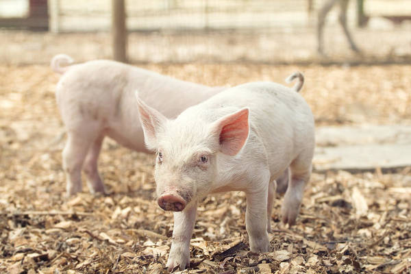 Wall Art - Photograph - Pink Piglet by Stephanie McDowell