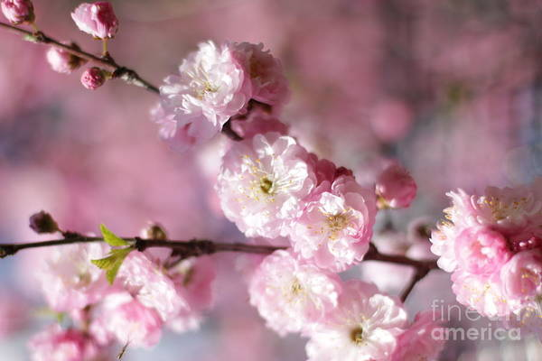 Photograph - Pink Plum Branch 1 by Donna L Munro