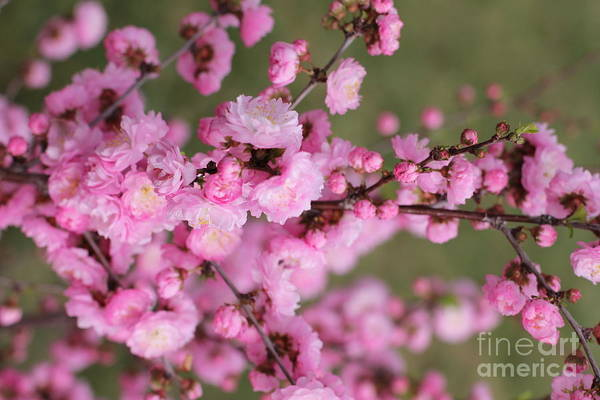 Photograph - Pink Plum Branch 3 by Donna L Munro