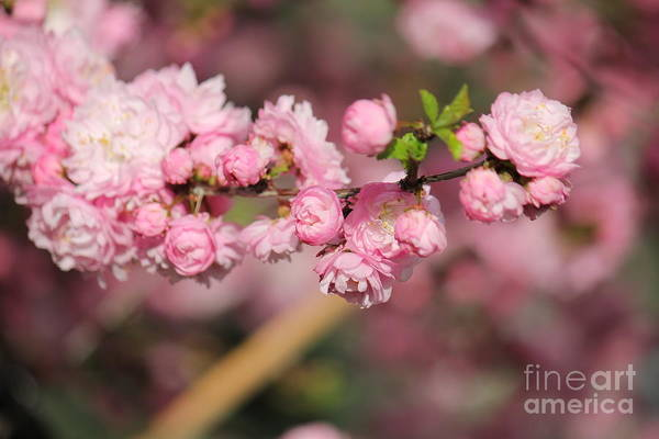Photograph - Pink Plum Branch by Donna L Munro