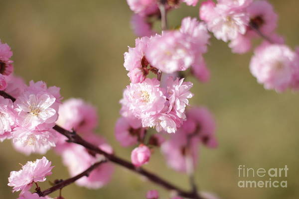 Photograph - Pink Plum On Green by Donna L Munro