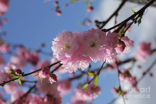 Photograph - Pink Plum On Sky 2 by Donna L Munro