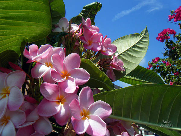 Photograph - Pink Plumerias by Adam Johnson