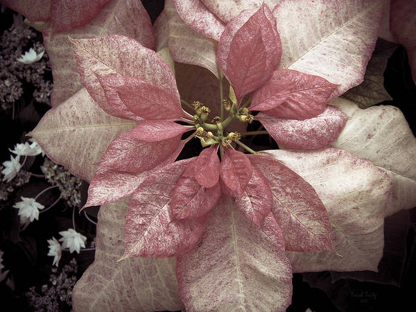 Photograph - Pink Pointsettia by Trish Tritz