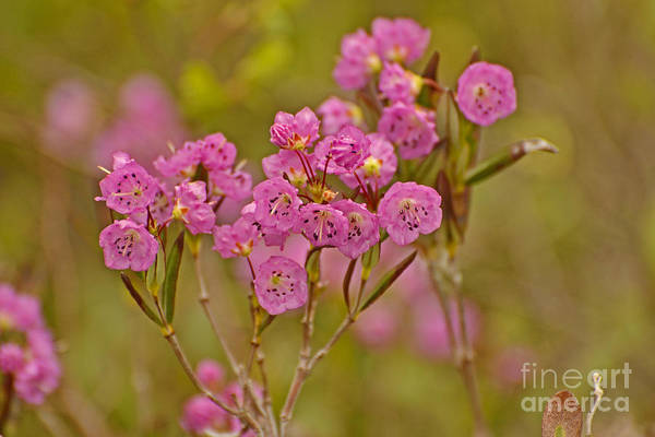 Kalmia Photograph - Pink Poison by Joshua McCullough