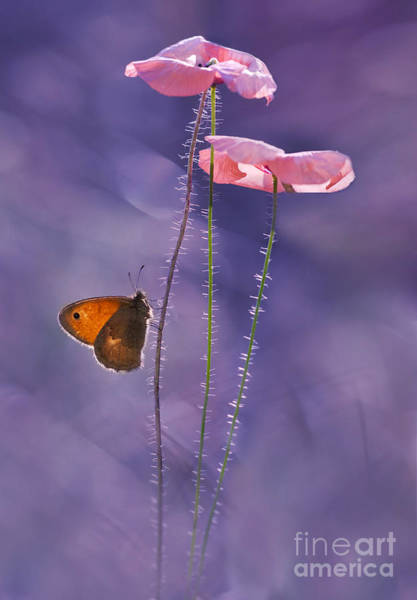 Wall Art - Photograph - Pink Poppies by Jaroslaw Blaminsky