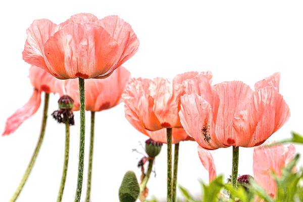 Photograph - Pink Poppies by Peggy Collins