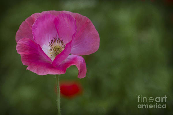 Photograph - Pink Poppy. by Clare Bambers
