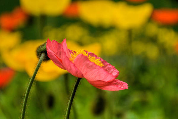 Photograph - Pink Poppy  by Jeanne May