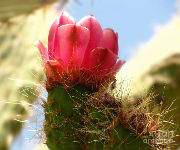 Photograph - Pink Prickly Pear Posie by Marilyn Smith