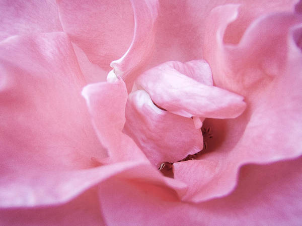 Photograph - Pink Romance by Roxy Hurtubise