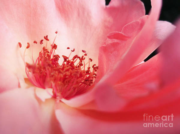 Photograph - Pink Rose by Emanuela Carratoni