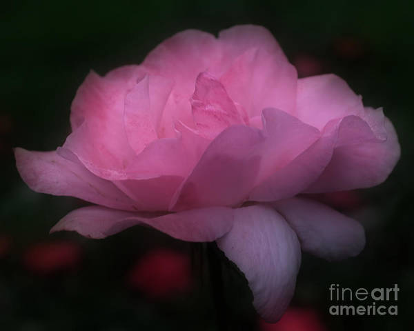Photograph - Pink Rose In Bloom by Smilin Eyes  Treasures