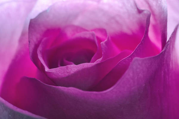 Photograph - Pink Rose by Jim Shackett