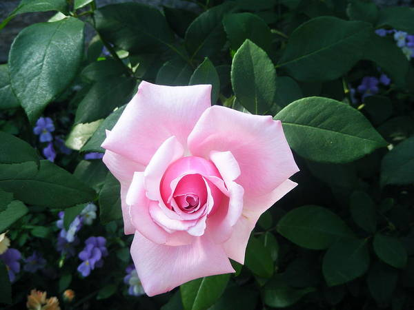 Photograph - Pink Rose by Michelle Hoffmann