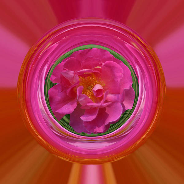 Photograph - Pink Rose Series 113 by Jim Baker