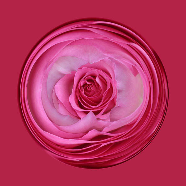 Photograph - Pink Rose Series 115 by Jim Baker