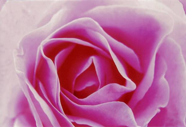 Photograph - Pink Rose Study by David Rich