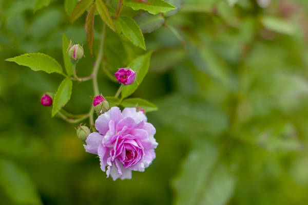 Photograph - Pink Rose  by Terry DeLuco