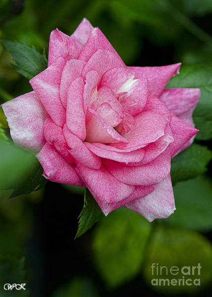 Photograph - Pink Rose by Wanda Krack