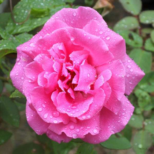 Photograph - Pink Rose With Rain Drops by Duane McCullough