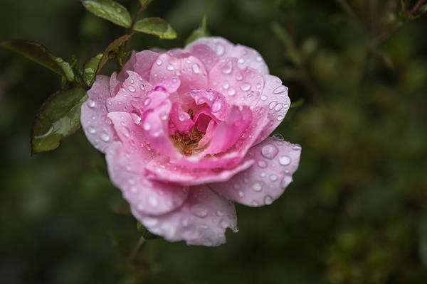 Pink Rose With Raindrops Art Print